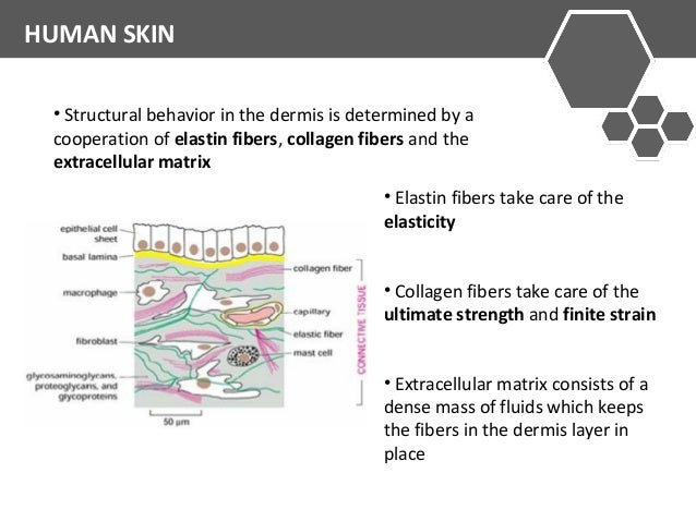 HUMAN SKIN  • Structural behavior in the dermis is determined by a  cooperation of elastin fibers, collagen fibers and the...