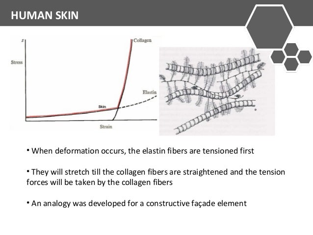 HUMAN SKIN  • When deformation occurs, the elastin fibers are tensioned first  • They will stretch till the collagen fiber...