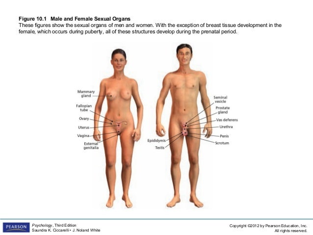 The male sex organ