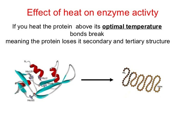 effect of temperature on an enzyme Investigating enzymes - effect of temperature on enzyme activity teacher's guide this guide is a continuation of the previous laboratory documents presented below are notes effect of temperature on enzyme activity worksheet.