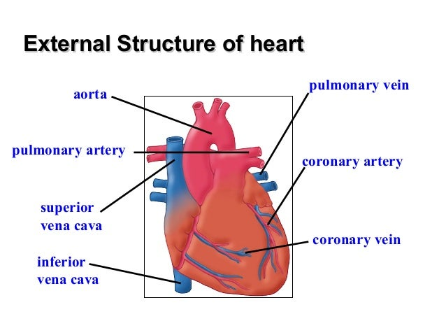 Chapter 8 transport in humans lesson 3 structure and for Exterior of heart diagram