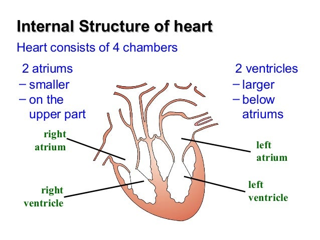 Chapter 8 transport in humans lesson 3 structure and function of th internal structure of heartinternal structure of heart ccuart Images