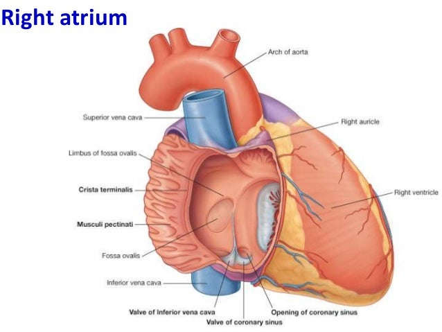 3 internal features of the heart