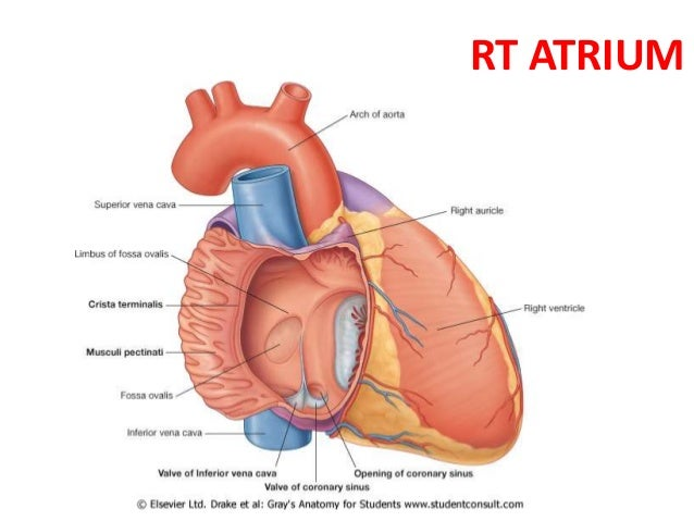 3 internal features of the heart rt atrium 4 right atrium of heart ccuart Gallery