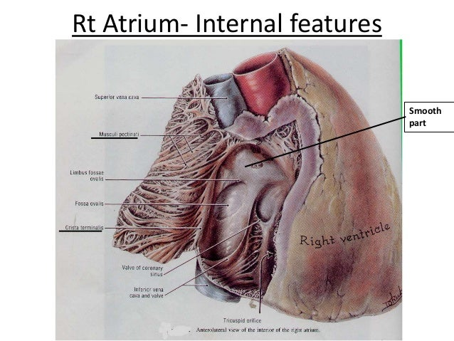 3 internal features of the heart rt atrium internal features smooth part 7 ccuart Choice Image