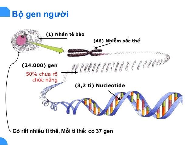 (1) Nhân tế bào (46) Nhiễm sắc thể (3,2 tỉ) Nucleotide Có rất nhiều ti thể, Mỗi ti thể: có 37 gen Bộ gen người