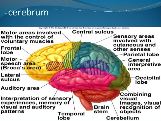 Anatomy of the Cerebrum