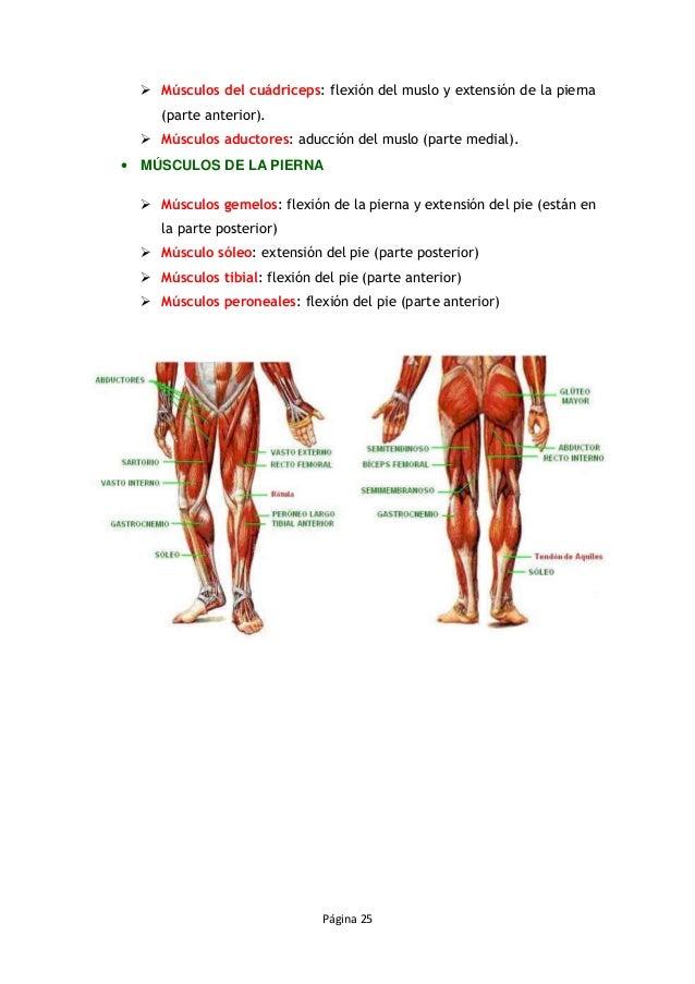 3 los músculos
