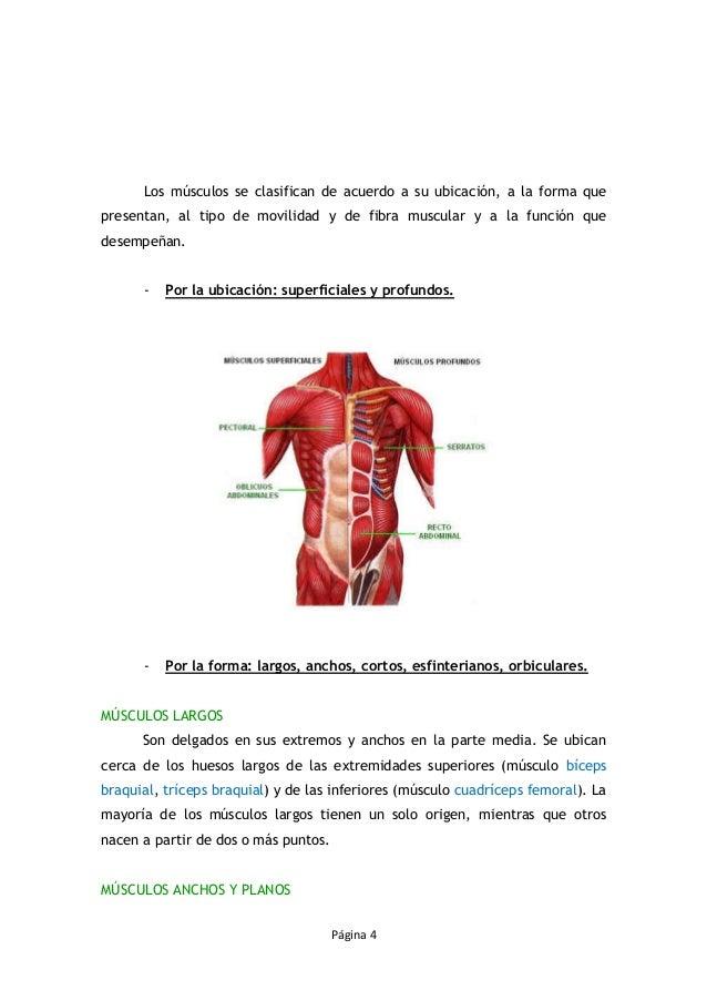 Fantástico Ubicación Tríceps Cresta - Imágenes de Anatomía Humana ...