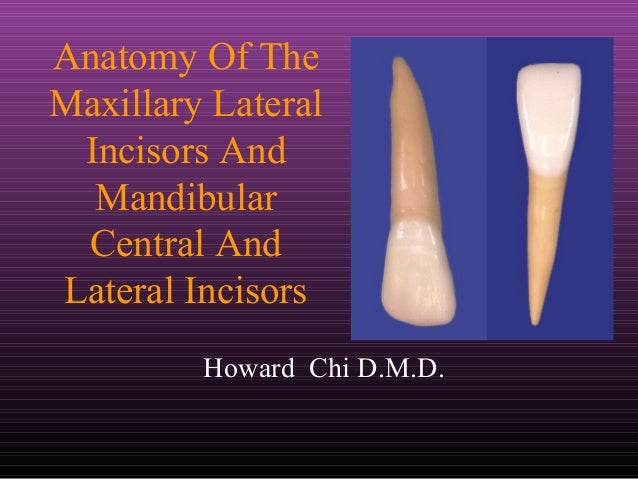 Anatomy Of The Maxillary Lateral Incisors And Mandibular Central And Lateral Incisors Howard Chi D.M.D.