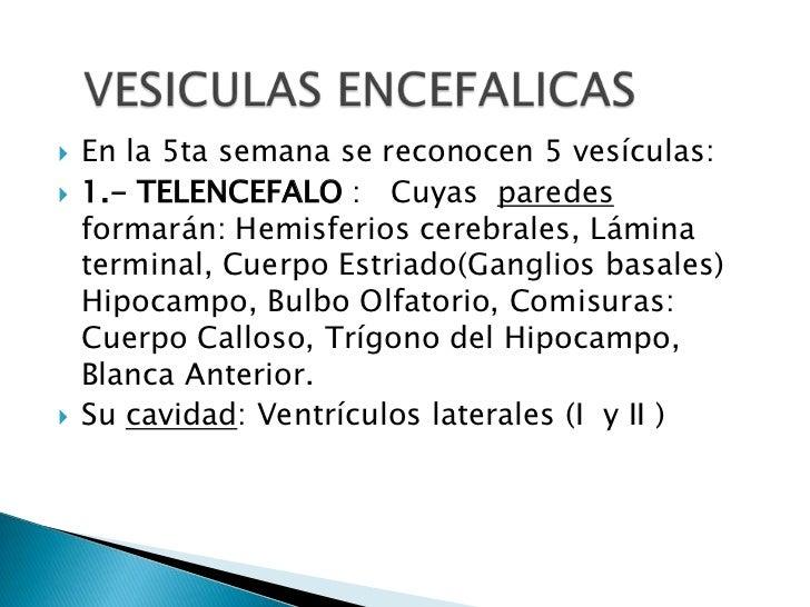 En la 5ta semana se reconocen 5 vesículas:<br />1.- TELENCEFALO :   Cuyas  paredes formarán: Hemisferios cerebrales, Lámin...