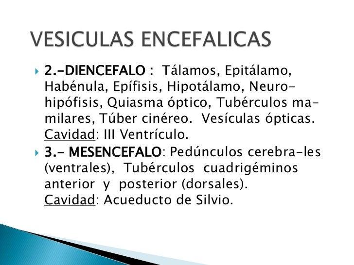 VESICULAS ENCEFALICAS<br />2.-DIENCEFALO :  Tálamos, Epitálamo, Habénula, Epífisis, Hipotálamo, Neuro- hipófisis, Quiasma ...