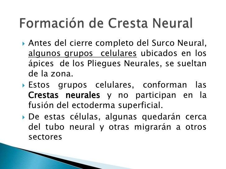 Formación de Cresta Neural<br />Antes del cierre completo del Surco Neural, algunos grupos  celulares ubicados en los ápic...