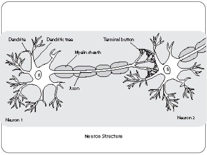 skeletal diagram of diaphragm