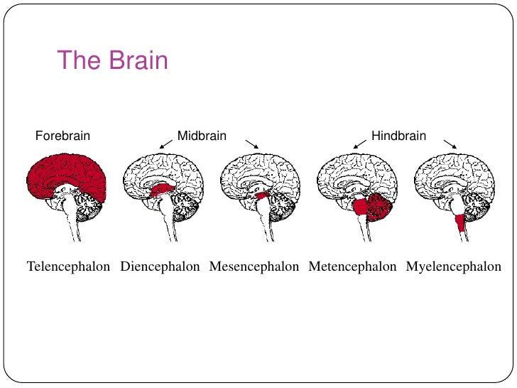 3 Neuropsychology Of Human Behaviour