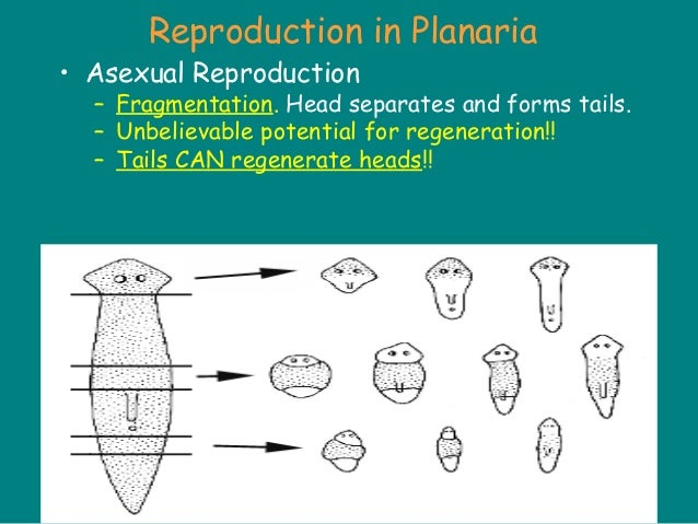 Is self fertilization the same as asexual reproduction pictures