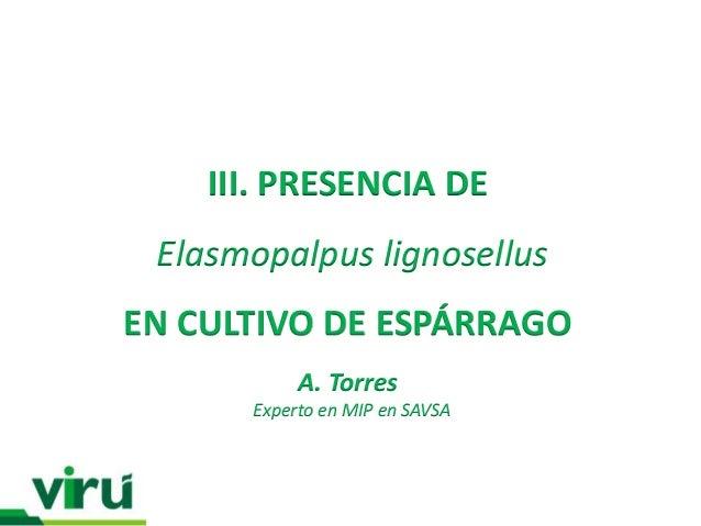III. PRESENCIA DE Elasmopalpus lignosellusEN CULTIVO DE ESPÁRRAGO           A. Torres      Experto en MIP en SAVSA