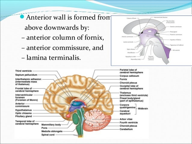 3rd Ventricle N Pineal Gland