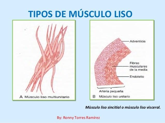 Musculo liso tipos y bases quimicas y fisica