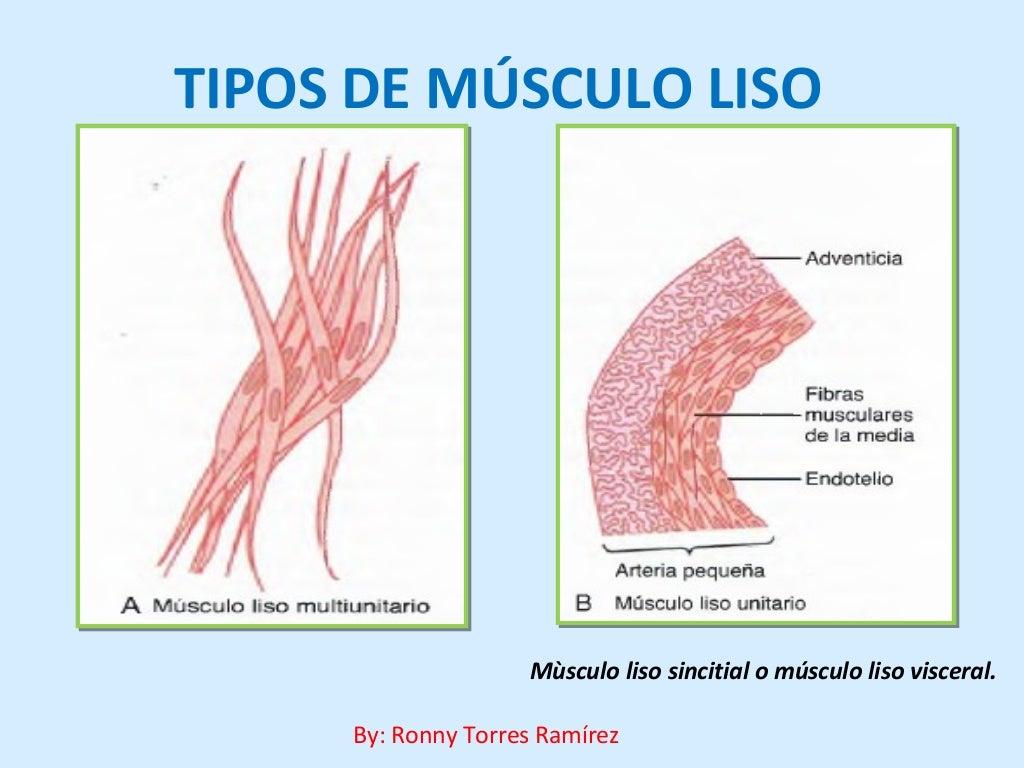 Atractivo Músculos Viscerales Fotos - Imágenes de Anatomía Humana ...