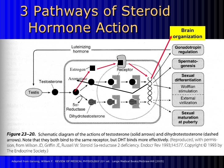 3 Sex Hormones Slide 2