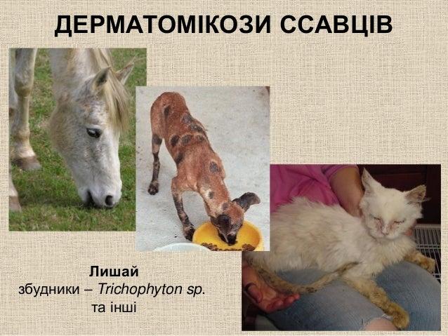 Дерматомікози у тварин фото фото 114-842