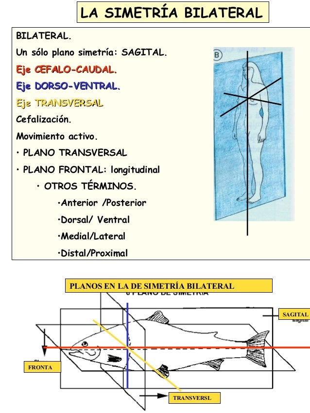 6203262 furthermore 13140081 additionally 5777804 as well Terms together with Lecture 1 Part 2 Introduction To Anatomical Directions And Orientation. on dorsal and ventral planes
