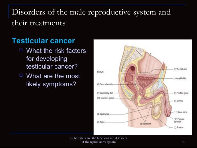 functions and disorders of the reproductive system, Muscles