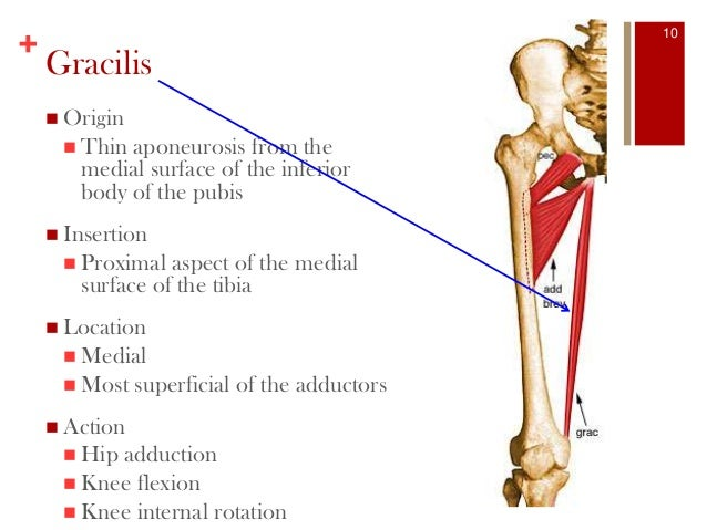 Gracilis Muscle Pull, Adductor Muscles of the Thigh