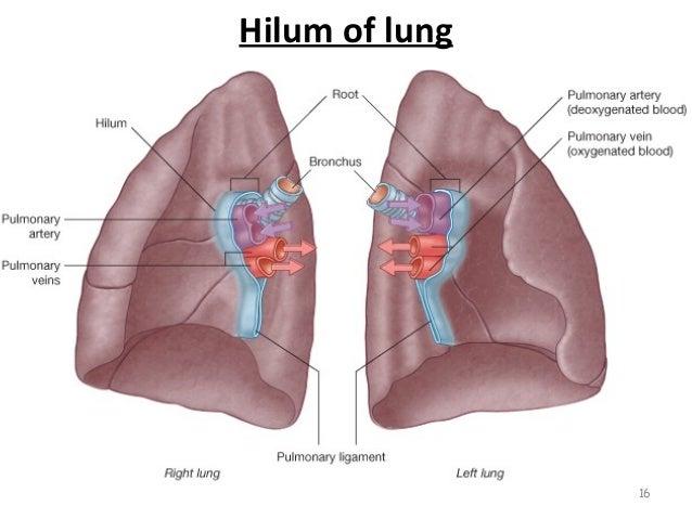 Hilum Of Lung Location qPpDbgb0QFP3BU9uB FepPiX6CsoJn1jp8OGkTLTU2w