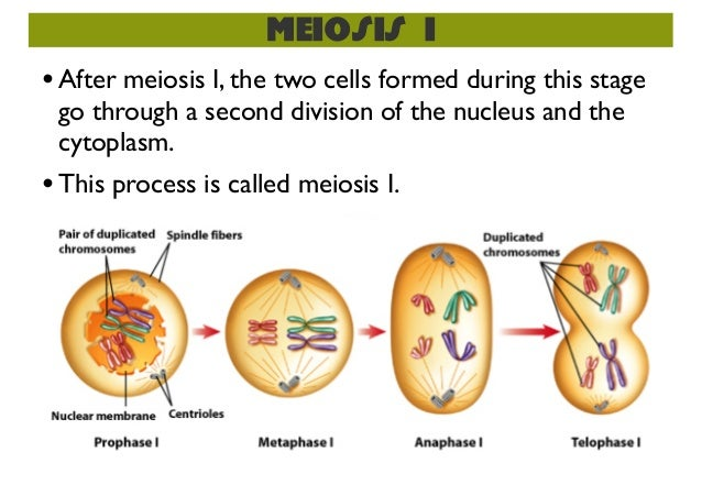 Meiosis In Sexual Reproduction