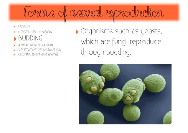 Asexual reproduction through budding