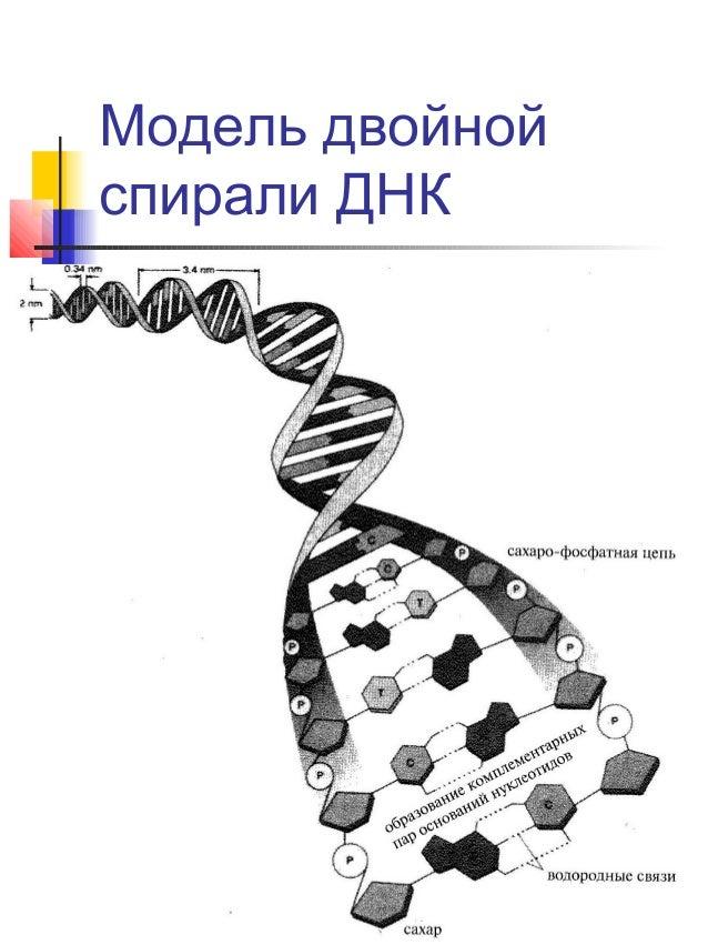 Модель двойной спирали ДНК