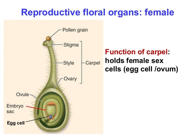 Female sex organ of a flower images 129