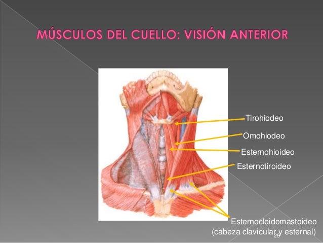 4 cabeza y cuello for Esternohioideo y esternotiroideo