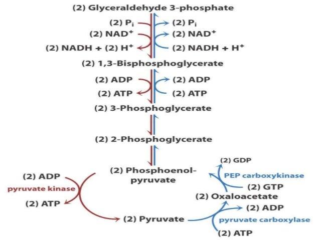 GLUCONEOGENESIS & ITS REGULATION