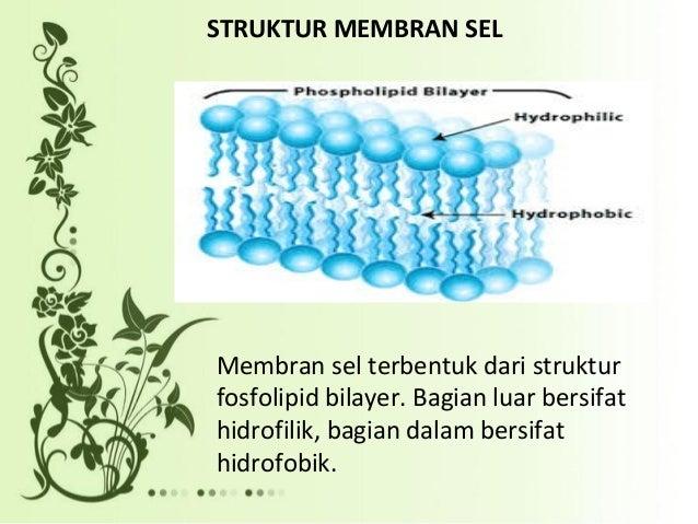 4 sistem transport melalui membran sel fungsi dari membran sel salah satunya sebagai lalu lintas molekul dan ion secara dua arah 3 ccuart Choice Image
