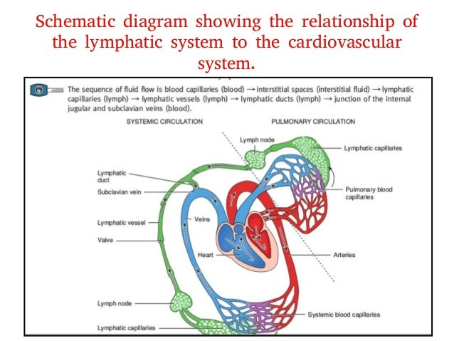 Lymphatic flow diagram wiring diagram 4 lymphatic system rh slideshare net lymphatic system diagram lymphatic system diagram head and neck ccuart Images