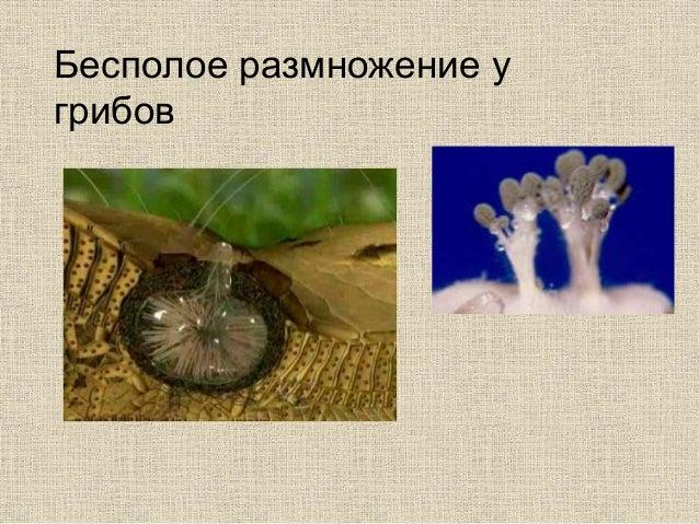 Бесполое размножение у грибов