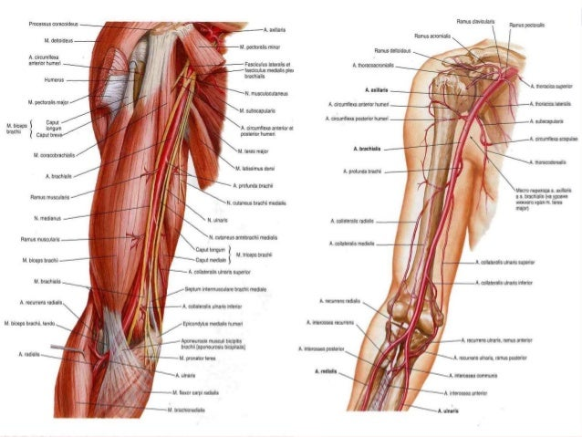 Blood Supply Innervation Of Upper Limb