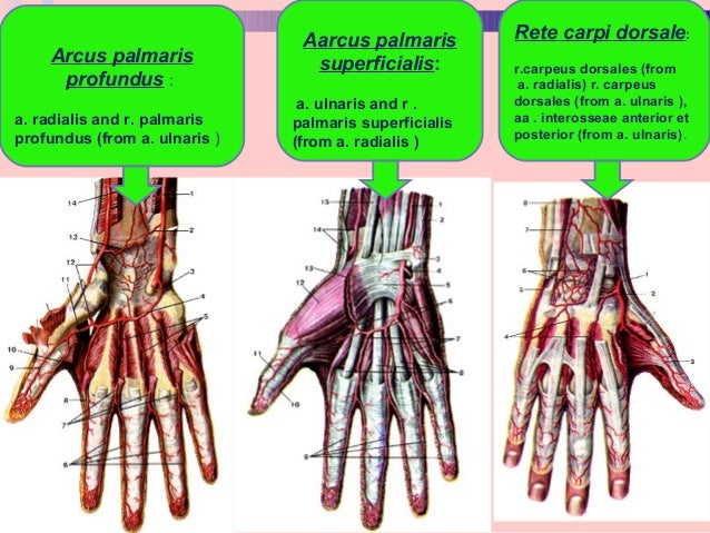 Blood supply & innervation of upper limb