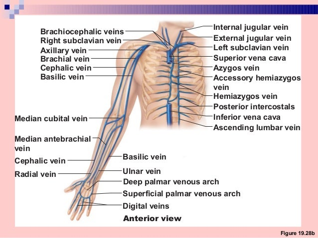 blood supply & innervation of upper limb, Cephalic Vein