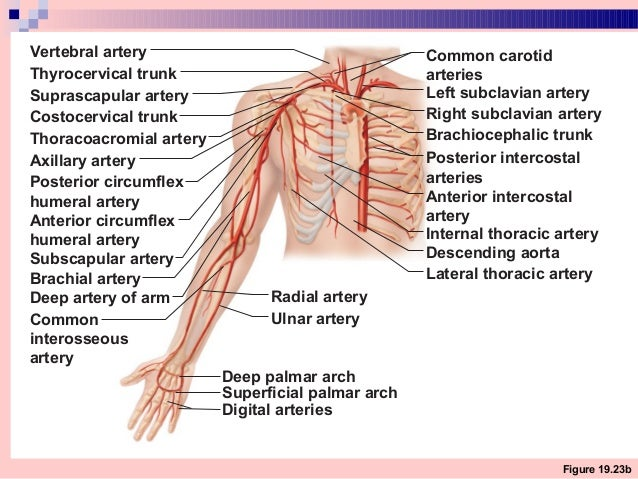 how to remember neurovascular supply