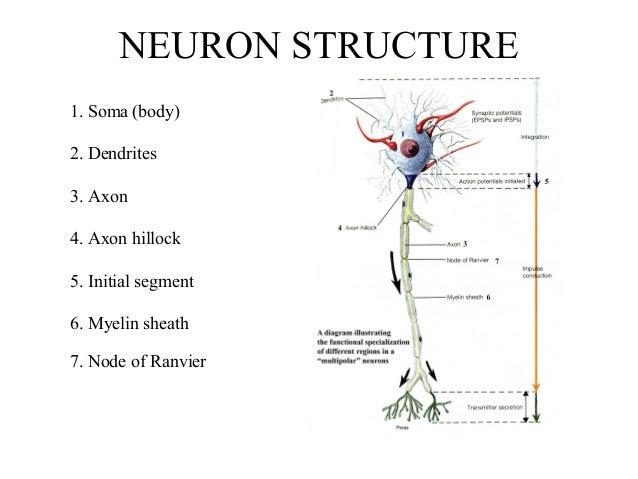 Neuron structure 1 638gcb1513869511 neuron structure 1 soma body 2 dendrites 3 axon 4 ccuart Images