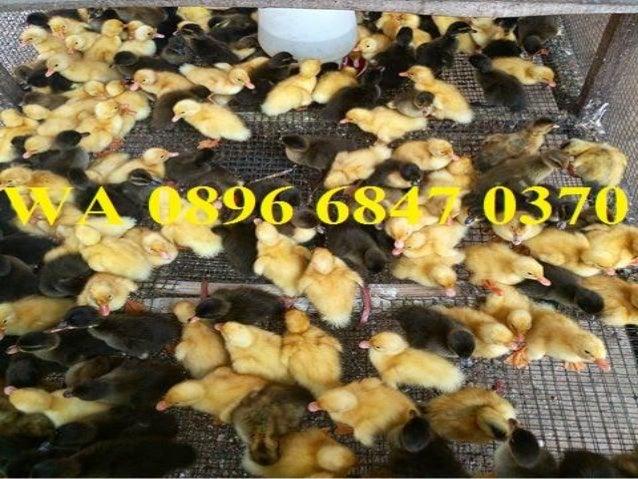 WA 0896 6847 0370 Jual Bibit Bebek Pemalang Petelur