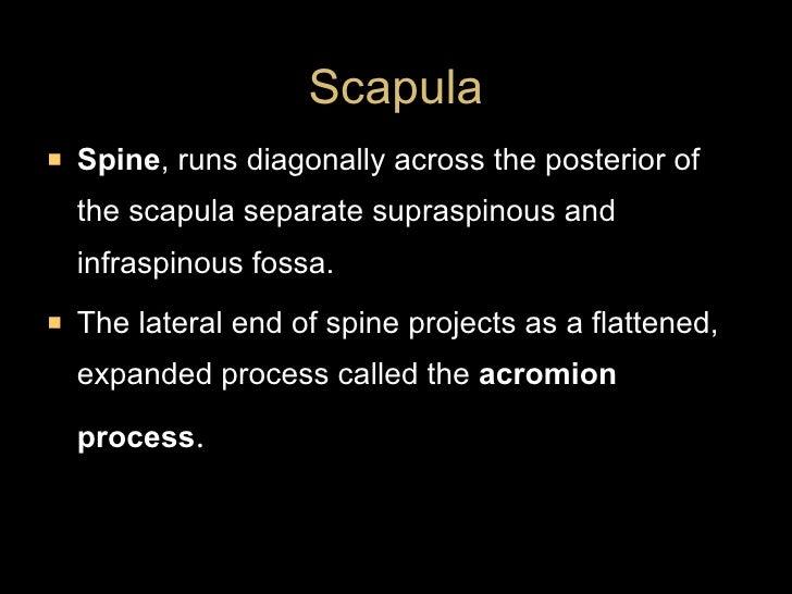 <ul><li>Spine , runs diagonally across the posterior of the scapula separate supraspinous and infraspinous fossa. </li></u...