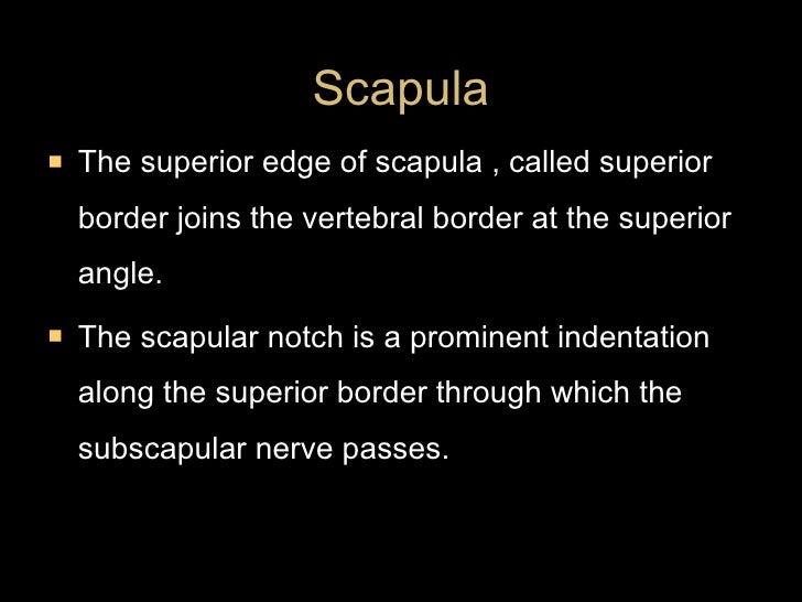 <ul><li>The superior edge of scapula , called superior border joins the vertebral border at the superior angle. </li></ul>...