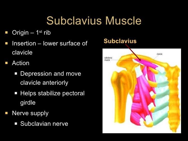 Subclavius Muscle <ul><li>Origin – 1 st  rib </li></ul><ul><li>Insertion – lower surface of clavicle </li></ul><ul><li>Act...