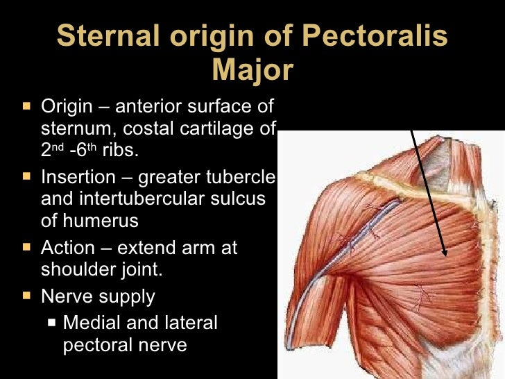 Sternal origin of Pectoralis Major <ul><li>Origin – anterior surface of sternum, costal cartilage of 2 nd  -6 th  ribs. </...