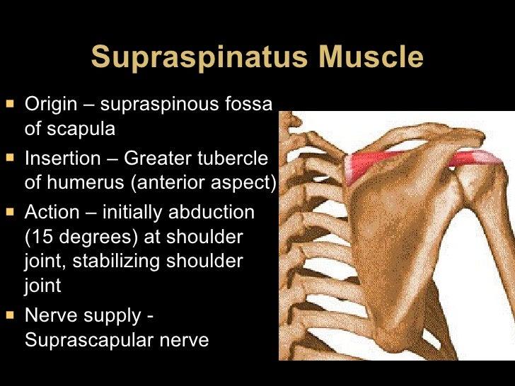 Supraspinatus Muscle <ul><li>Origin – supraspinous fossa of scapula </li></ul><ul><li>Insertion – Greater tubercle of hume...